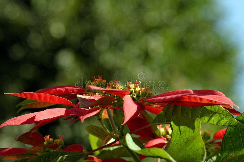 Poinsettiablume stockfoto