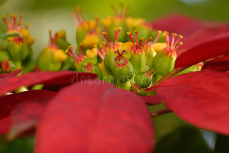 Poinsettiablume stockbild