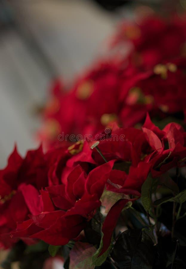Poinsettiagebruik voor Kerstmisdecoratie die de Rode bloemenschoonheid van Nice toevoegen stock afbeeldingen