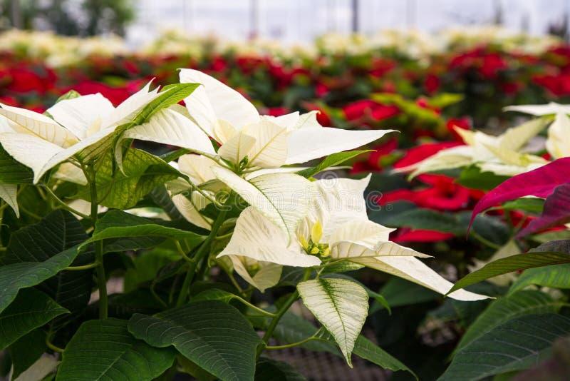 Poinsettias στο θερμοκήπιο στοκ φωτογραφίες