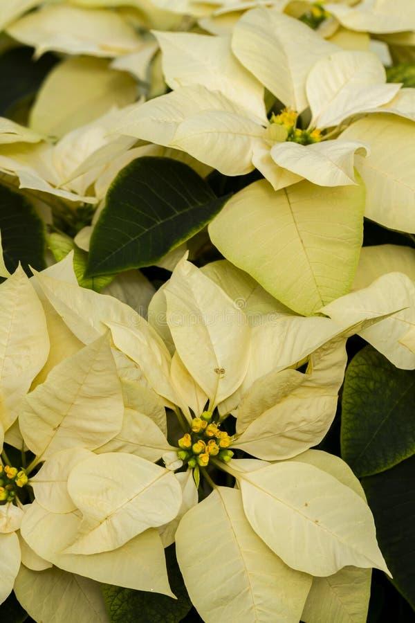 Poinsettias Royalty Free Stock Photos