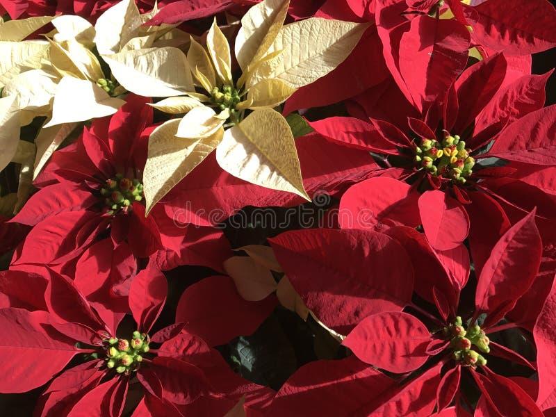 Poinsettias stock image