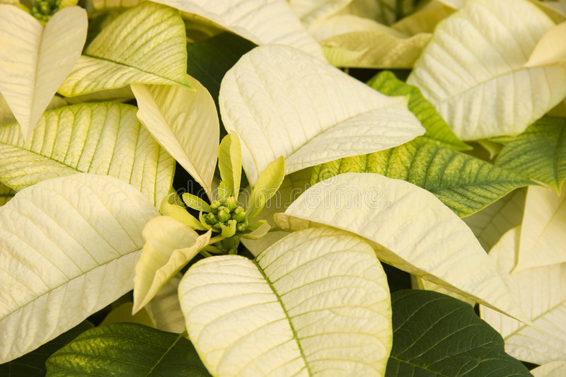 Poinsettias blanches images stock