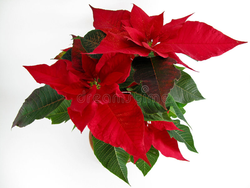 poinsettias de Noël photographie stock libre de droits