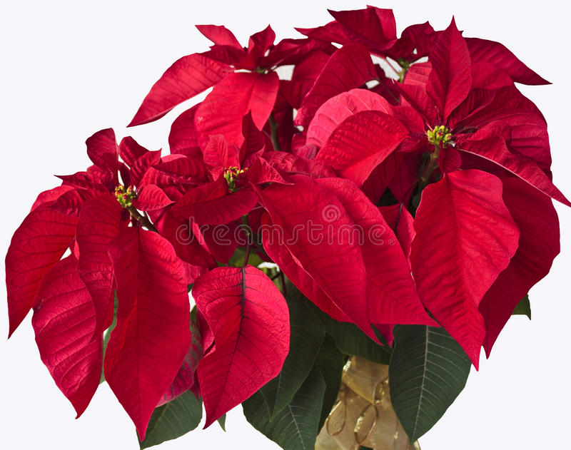 Poinsettia isolated on a white background. Poinsettia with a gold bow isolated on a white background stock photography