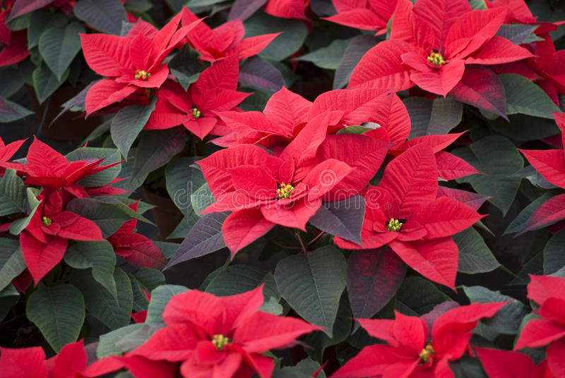 Poinsettias plants from above royalty free stock image