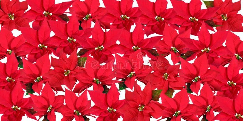 Poinsettias rojos - fondo imagenes de archivo