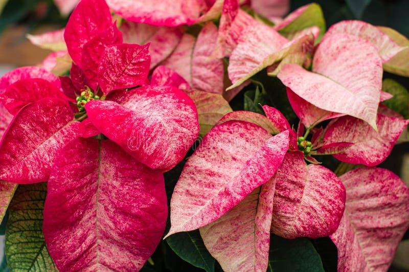 Poinsettias rouges et blanches variées photos stock