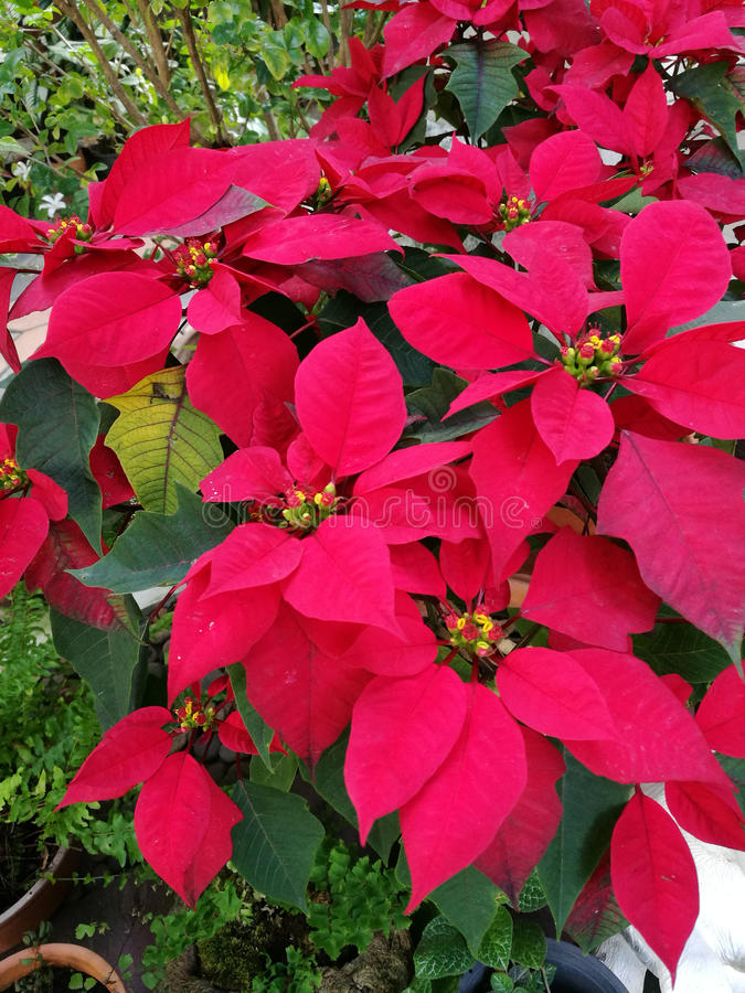Poinsettias tree. With beautiful red foliage royalty free stock images