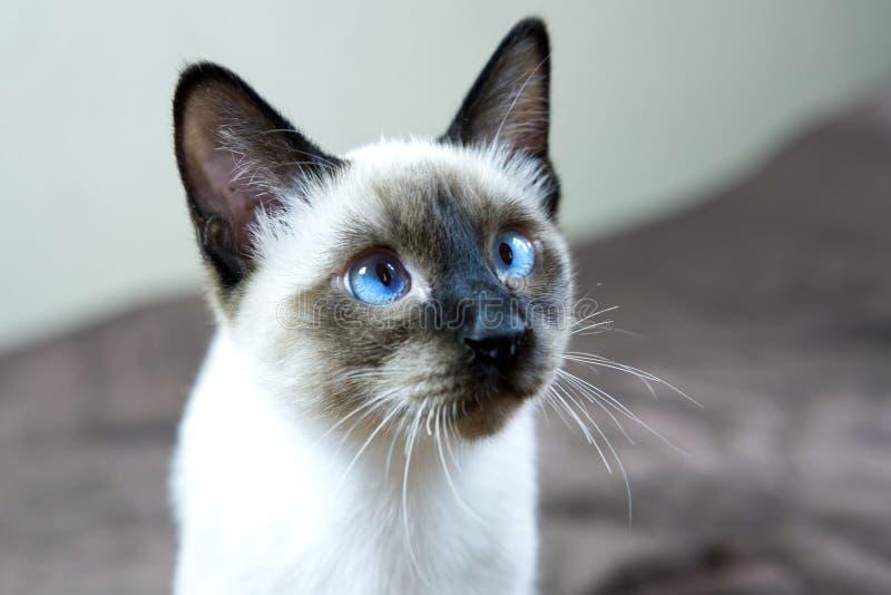 Point aux cheveux courts de joint de couleur de chaton recherchant, la petite profondeur de l'acuité image stock