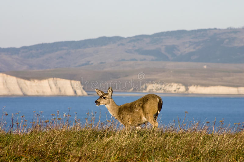 Point Reyes National Seashore wildlife. Mule deer grazing grass on the edge og the cliff stock photography