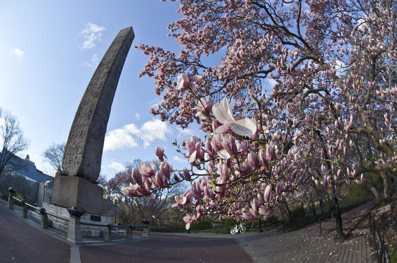 Pointeau de l'AR Cléopâtre d'arbre de tulipe photographie stock