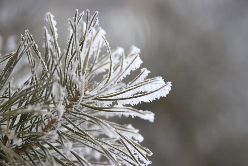 Pointeaux verts Branche de Milou Pin dans la neige closeup photo stock