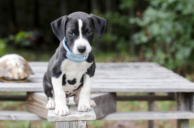 Pointer Hound mixed breed puppy dog with flea collar. Male black and white Pointer Hound mixed breed puppy dog, flea collar. Animal Shelter adoption photoraphy stock photo
