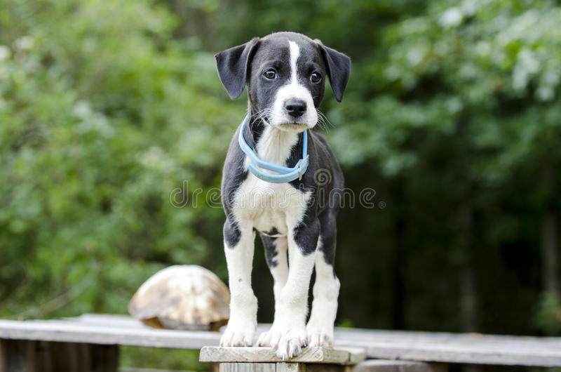 Pointer Hound mixed breed puppy dog with flea collar. Male black and white Pointer Hound mixed breed puppy dog, flea collar. Animal Shelter adoption photoraphy royalty free stock photos