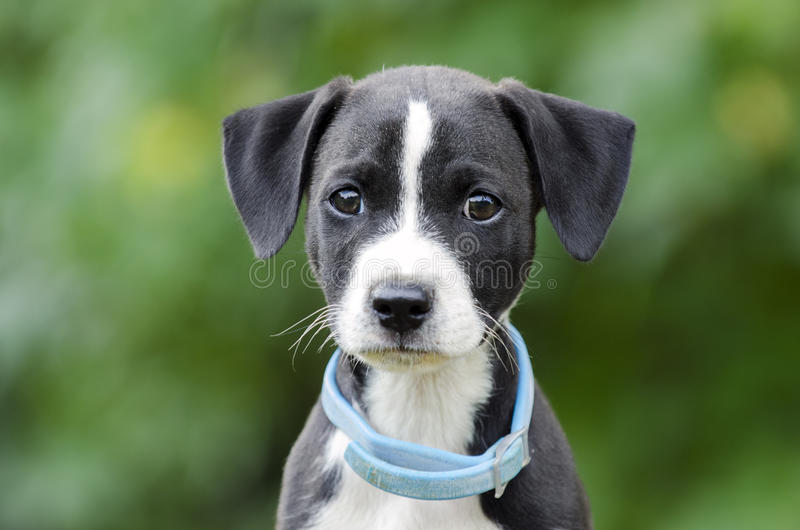 Pointer Hound mixed breed puppy dog with flea collar. Male black and white Pointer Hound mixed breed puppy dog, flea collar, dandruff dander. Animal Shelter stock image