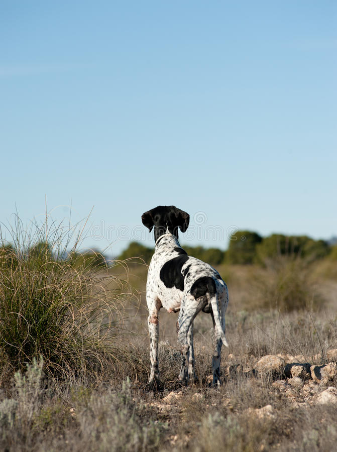 Download Pointer Hunting Dog Stock Images - Image: 17632734