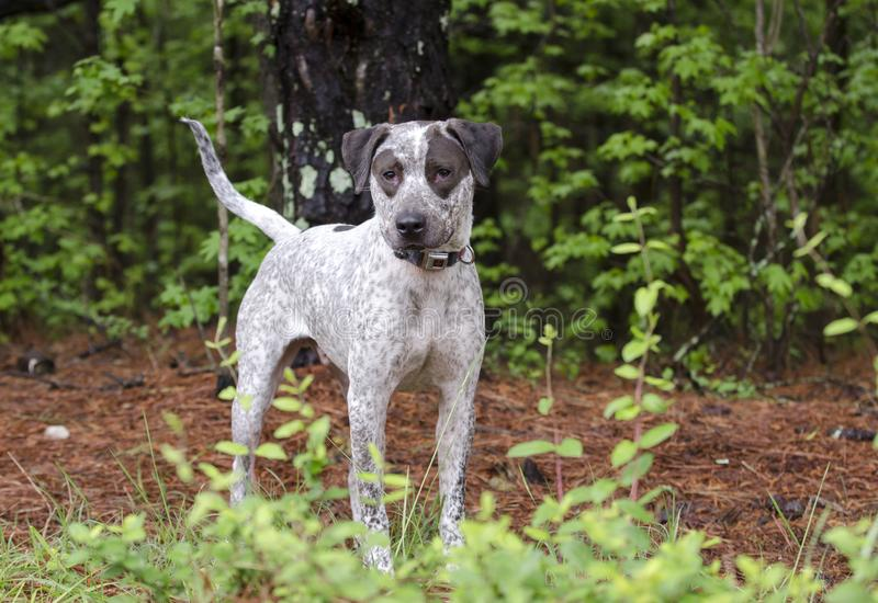 Pointer mixed breed dog, pet rescue adoption photography. Spot is a neutered male chocolate spotted Pointer mixed breed birddog. On leash outdoors in meadow. Pet stock photography