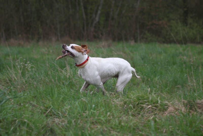 pointeru psi angielski kij obrazy stock