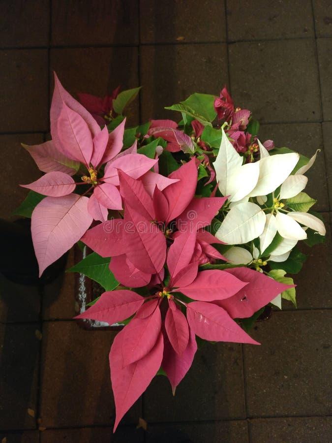 Pointsettia in bloom stock image