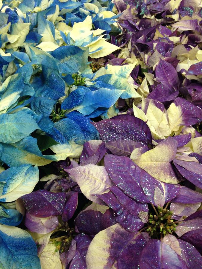 Pointsettia porpora e blu fotografia stock