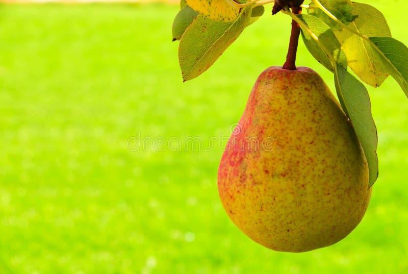 Download Poire fraîche photo stock. Image du arbre, branchement - 56479476