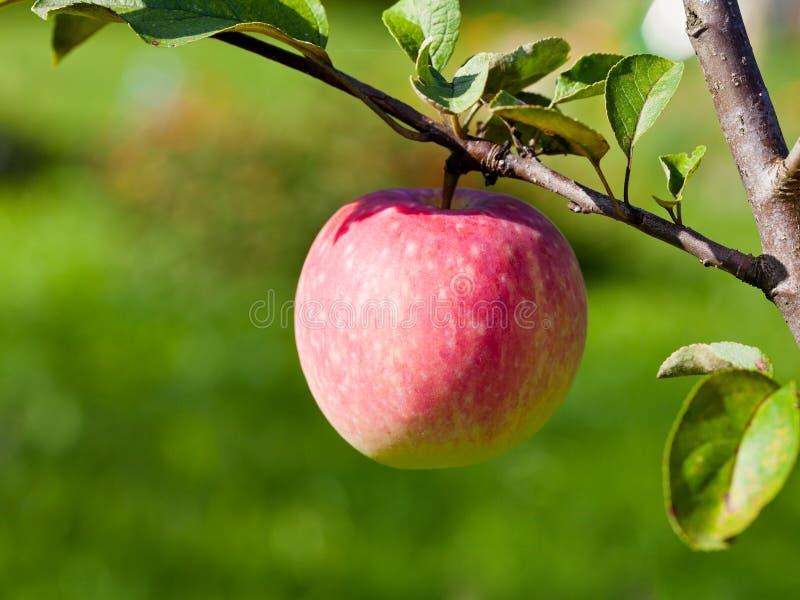 Poire mûre sur l'arbre dans le verger de fruit photos stock