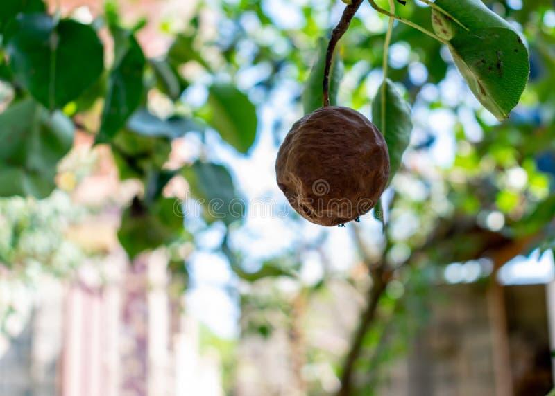 Poire putréfiée sur une branche Poires putréfiées sur une fin d'arbre  image libre de droits