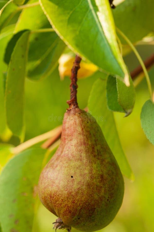 Poire sur un arbre dans le jardin de fruit photos stock