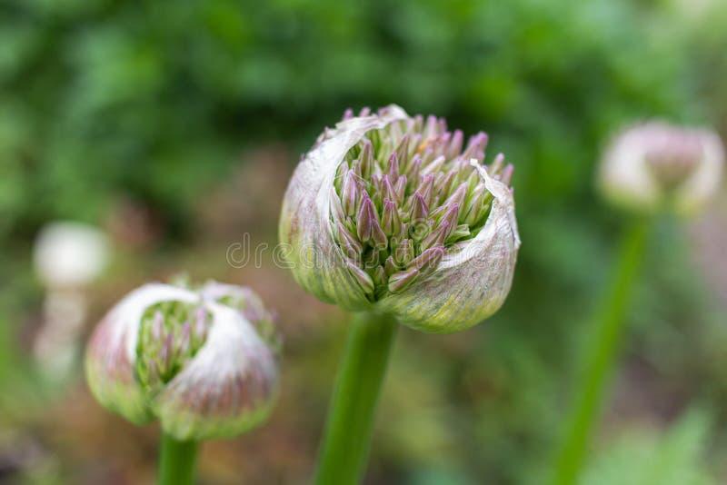 Poireau fleurissant photo libre de droits
