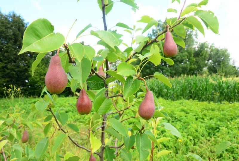 Poires croissantes dans le jardin image libre de droits