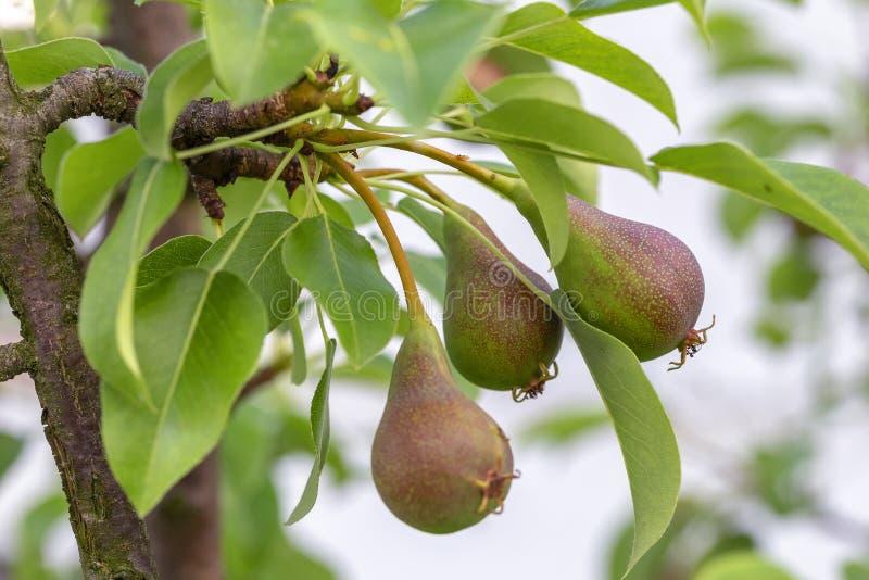 Poires croissantes organiques sur une branche avec des feuilles image libre de droits