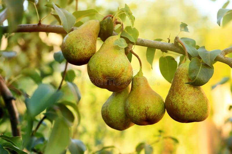 Poires juteuses mûres sur la branche d'arbre dans le jardin images libres de droits