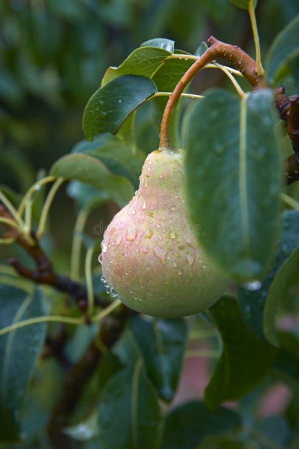 Poires sur l'arbre Rosée de matin sur des fruits image stock