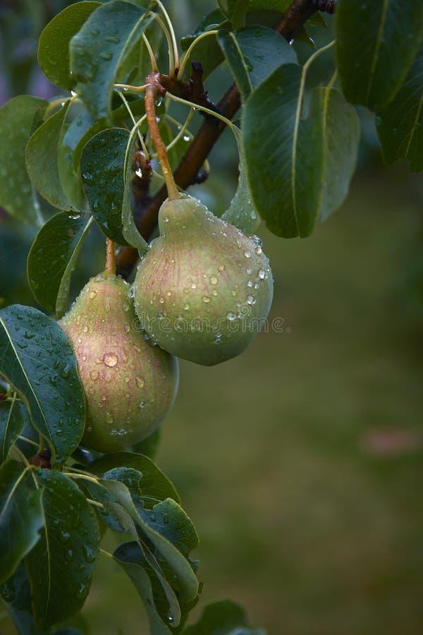 Poires sur l'arbre Rosée de matin sur des fruits image libre de droits