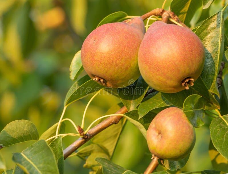 Poirier avec l'élevage de fruits dans le jardin photo stock