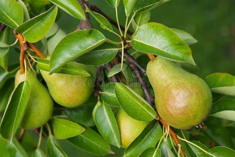 Poirier avec son fruit pendant l'été photographie stock libre de droits