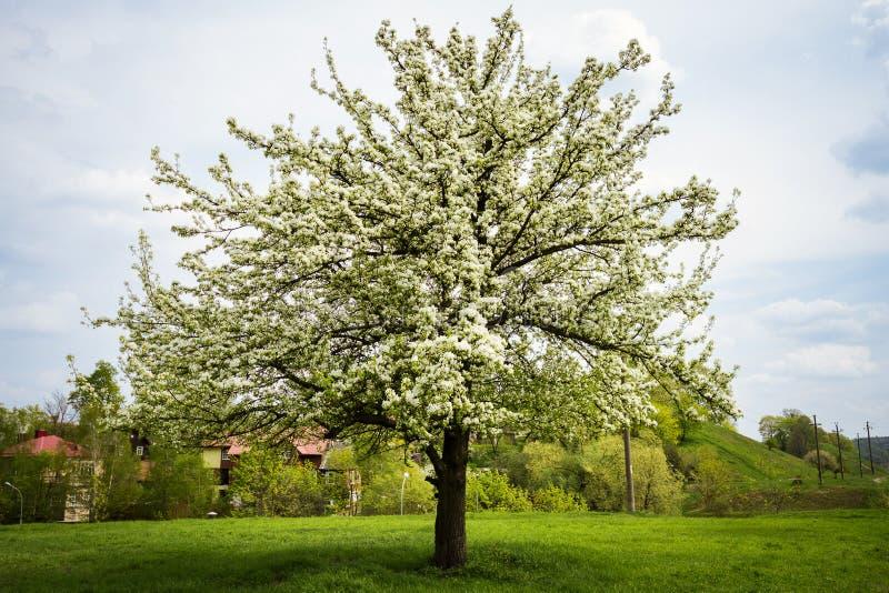 Poirier de floraison de beau ressort photographie stock libre de droits