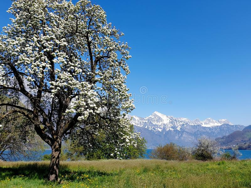 Poirier de floraison, crêtes neigeuses, entre le Walensee bleu profond photographie stock libre de droits