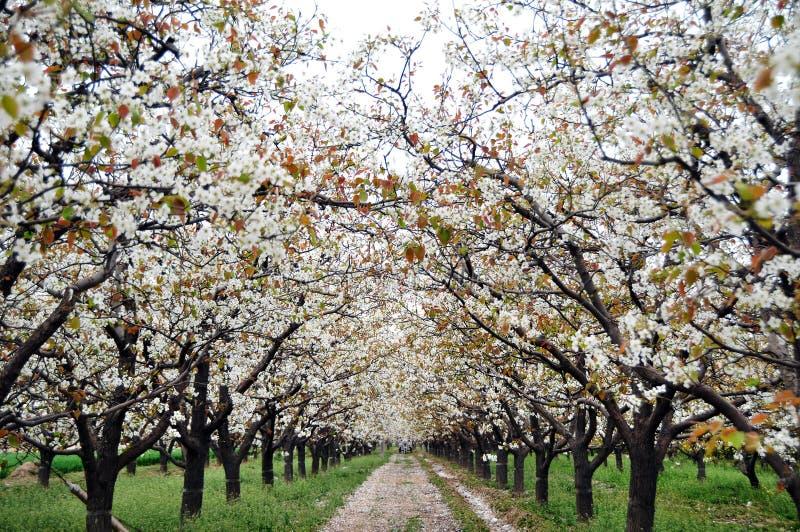 Poirier fleurissant au printemps images libres de droits