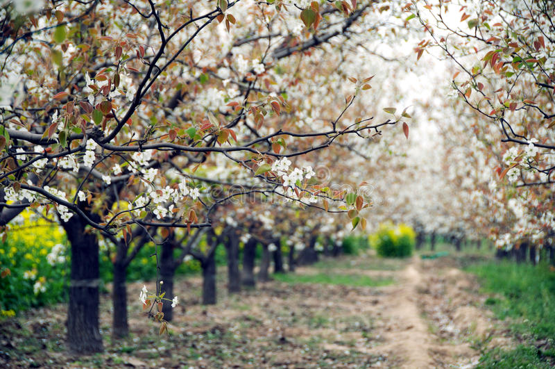 Poirier fleurissant au printemps images stock