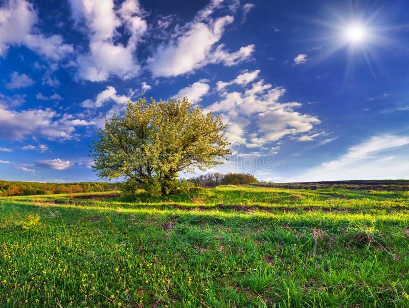 Poirier fleurissant au printemps photos libres de droits