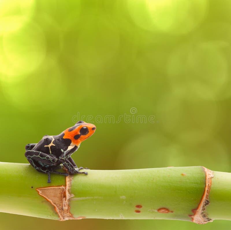Poison arrow frog Peru rainforest royalty free stock photography
