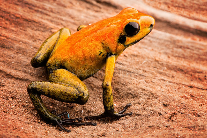 Poison arrow frog Phyllobates bicolor. A poisonous animal from the Amazon rain forest in Colombia. Amphibian macro stock photos
