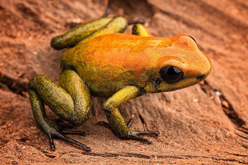 Poison arrow frog Phyllobates bicolor. A poisonous animal from the Amazon rain forest in Colombia. Amphibian macro royalty free stock photography