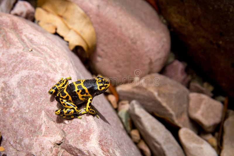 Poison-arrow gold and black frog. Poison-arrow gold and black poison frog in wild Venezuela stone jungle royalty free stock photography
