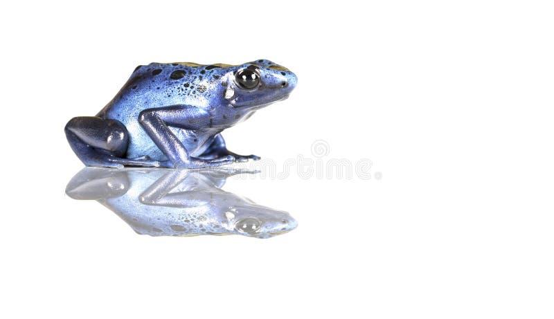Poison Blue Dart Frog - on black background stock photography