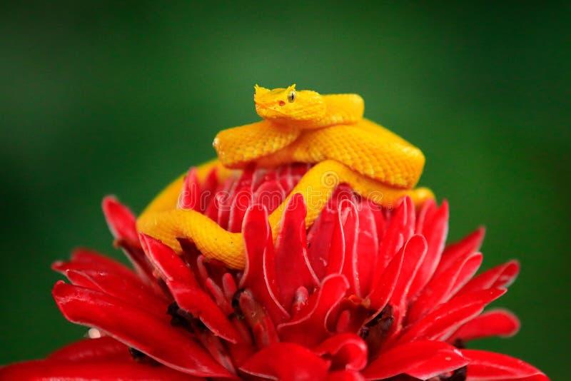 Poison danger viper snake from Costa Rica. Yellow Eyelash Palm Pitviper, Bothriechis schlegeli, on red wild flower. Wildlife scene. From tropic forest. Bloom royalty free stock image
