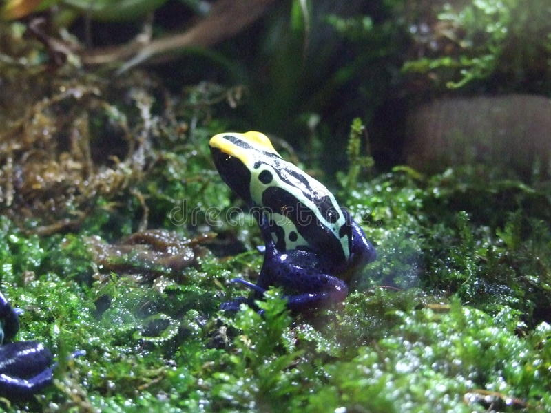 Download Poison Dart Frog stock image. Image of poison, frog, toxic - 21545751