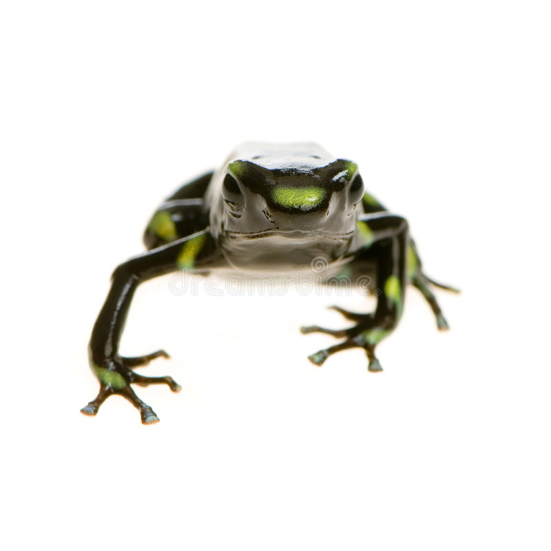 Poison Dart Frog. Green and Black Poison Dart Frog in front of a white background royalty free stock photos